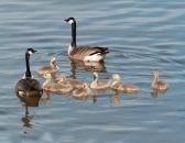 Canada Geese w Goslings