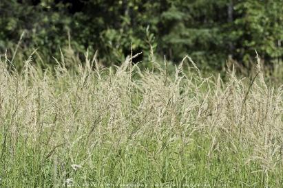 Arrow_Grass