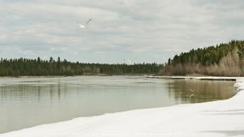 Gulls_on-river_Spring