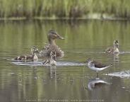 Mallard-Duck_Lesser-Yellowlegs