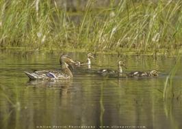Mallard_Ducks