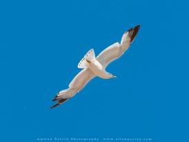 Ring Beak Gull