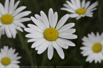 Wild_Daisy_OK