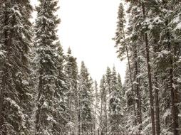 Winter_Spruce_Trees_Print-1
