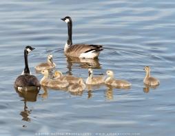 canada_goose_goslings-1